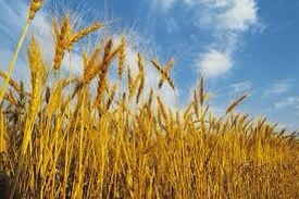 Is Modern Wheat Making You Fat and Sick? - for Kim xx